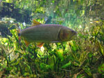 Fish in Bonito's Rio da Prata [bonito_0777]