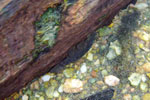 Plecostomus in the wild