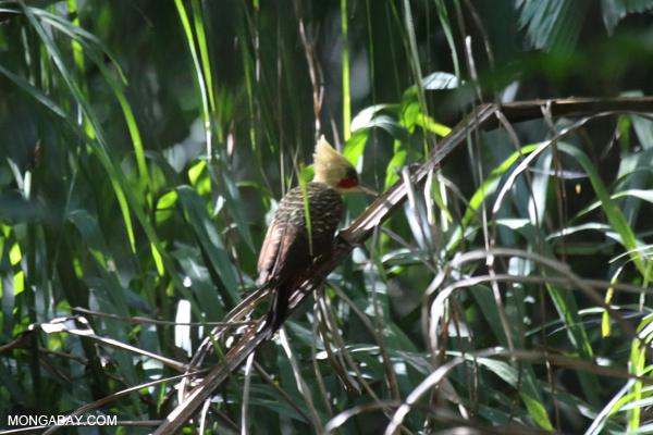 Woodpecker [bonito_0104]