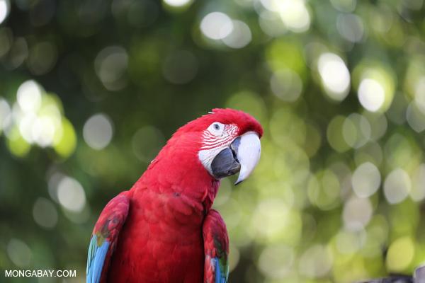 Scarlet macaw [bonito_0143]
