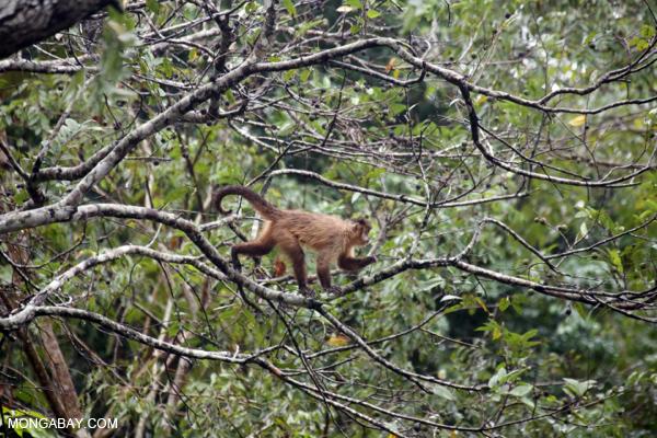 Black-striped capuchin (Sapajus libidinosus) [bonito_0377]