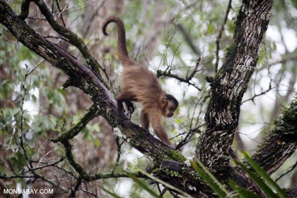Black-striped capuchin (Sapajus libidinosus) [bonito_0378]