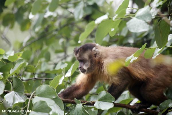 Black-striped capuchin (Sapajus libidinosus) [bonito_0383]