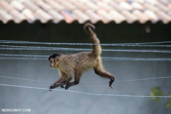 Black-striped capuchin (Sapajus libidinosus) [bonito_0392]