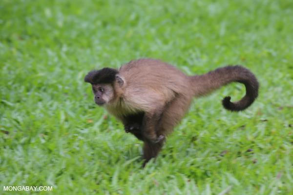 Black-striped capuchin (Sapajus libidinosus) [bonito_0395]