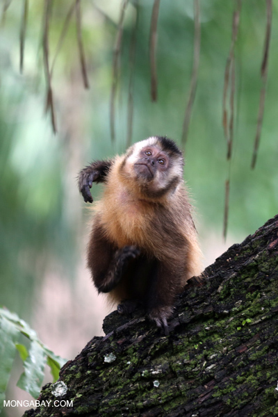 Black-striped capuchin (Sapajus libidinosus) [bonito_0422]