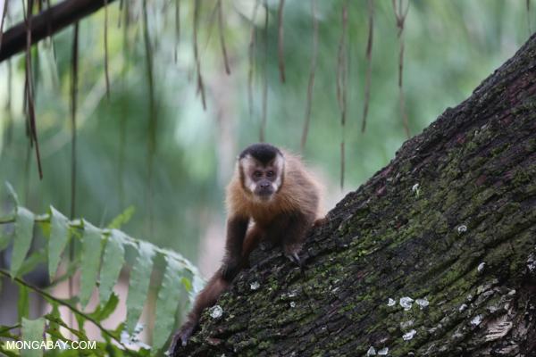 Black-striped capuchin (Sapajus libidinosus) [bonito_0427]