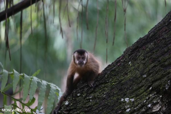 Black-striped capuchin (Sapajus libidinosus) [bonito_0429]