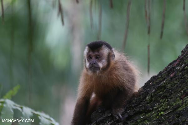 Black-striped capuchin (Sapajus libidinosus) [bonito_0431]