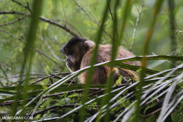 Black-striped capuchin (Sapajus libidinosus) [bonito_0434]