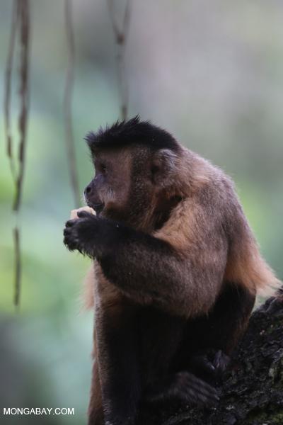 Black-striped capuchin (Sapajus libidinosus) [bonito_0441]