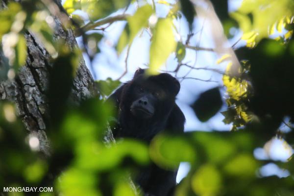 Black howler monkey (Alouatta caraya) [bonito_0465]