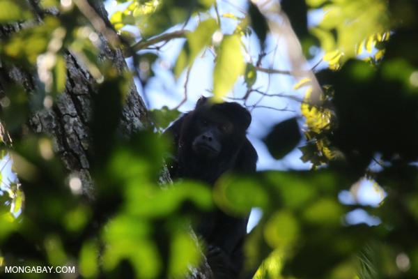 Black howler monkey (Alouatta caraya) [bonito_0466]