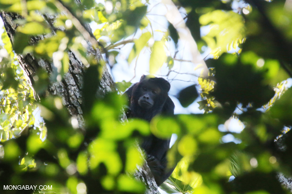 Black howler monkey (Alouatta caraya) [bonito_0468]