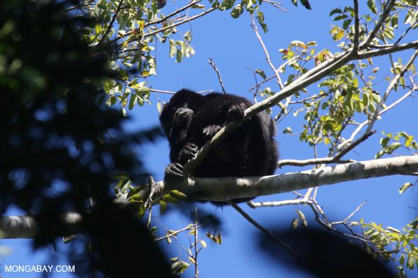 Black howler monkey (Alouatta caraya) [bonito_0481]