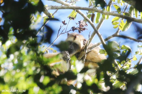 Black howler monkey (Alouatta caraya) [bonito_0490]