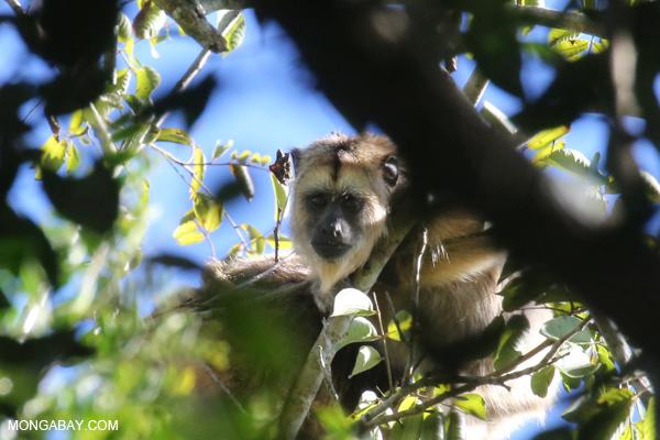 Black howler monkey (Alouatta caraya) [bonito_0497]