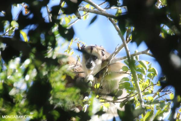 Black howler monkey (Alouatta caraya) [bonito_0500]