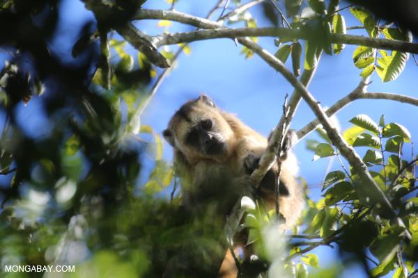Black howler monkey (Alouatta caraya) [bonito_0514]