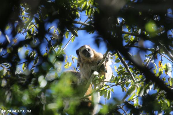 Black howler monkey (Alouatta caraya) [bonito_0517]