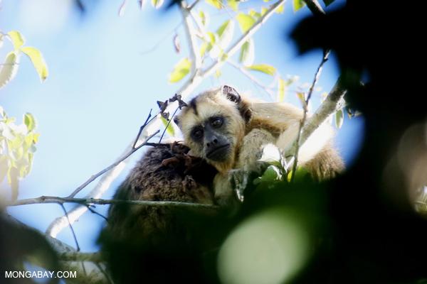 Black howler monkey (Alouatta caraya) [bonito_0529]