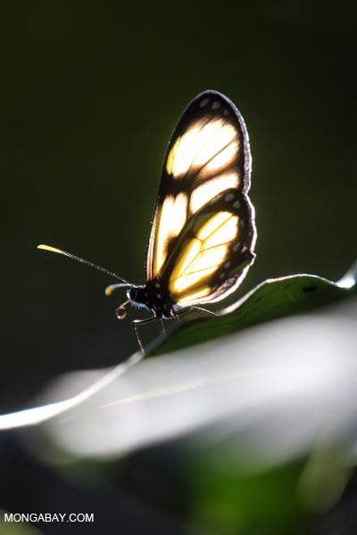 Butterfly [bonito_0551]