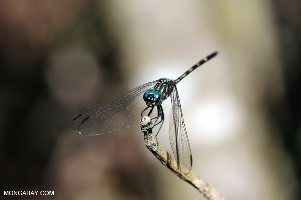 Blue-eyed dragonfly [bonito_0571]