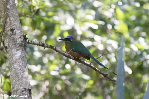 Amazonian Motmot [bonito_0581]