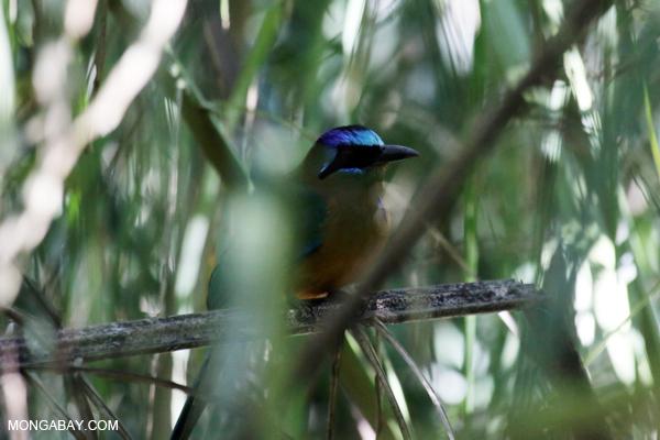 Amazonian Motmot (Momotus momota) [bonito_0594]
