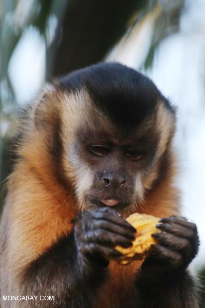 Black-capped capuchin monkey