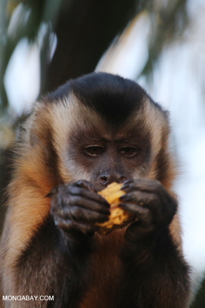 Black-capped capuchin monkey [bonito_0635]