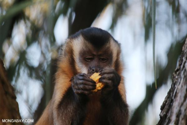 Tufted capuchin (Cebus apella) [bonito_0636]