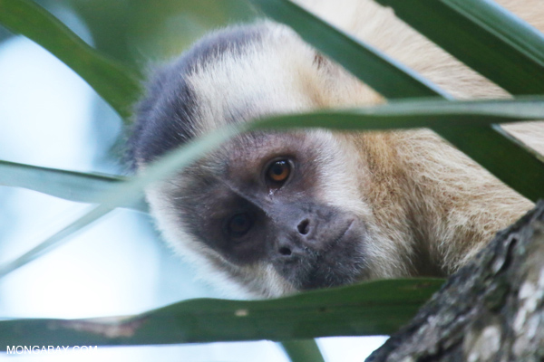 Brown capuchin [bonito_0639]