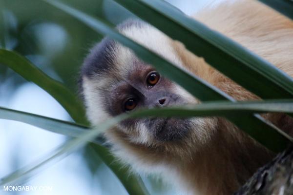 Black-capped capuchin monkey (Cebus apella)