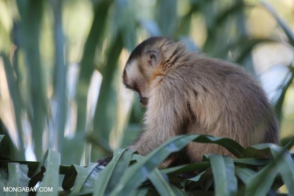 Tufted capuchin monkey [bonito_0652]