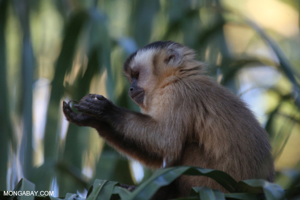 Brown capuchin monkey [bonito_0653]