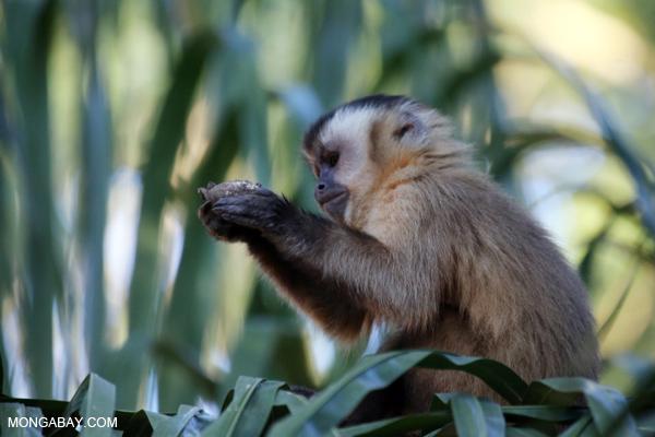 Black-capped capuchin monkey (Cebus apella) [bonito_0655]
