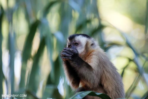 Black-capped capuchin monkey [bonito_0656]