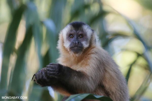 Black-capped capuchin monkey [bonito_0665]