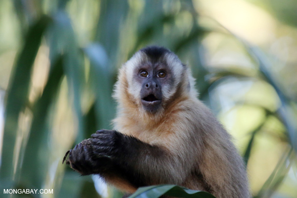 Tufted capuchin monkey
