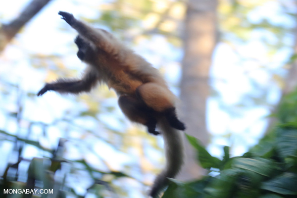 Brown capuchin monkey [bonito_0684]