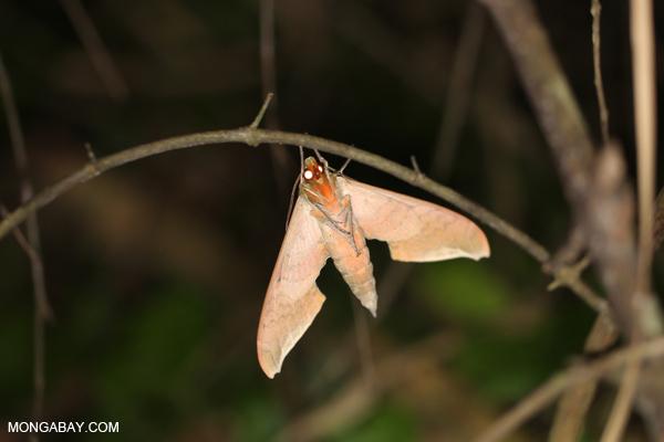 Moth [bonito_0688]