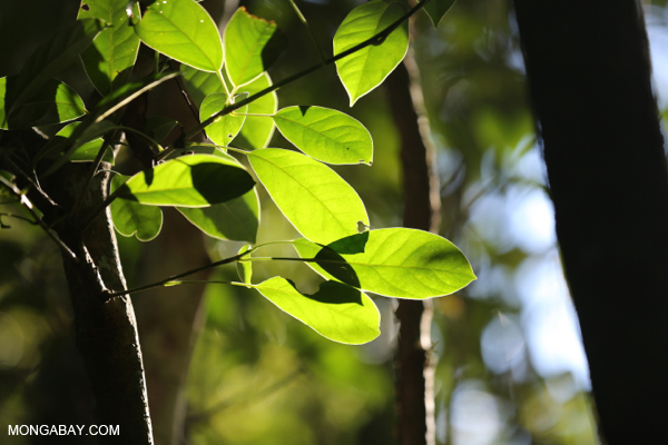 Rainforest leaves in Mato Grosso du Sul, Brazil. Photo by Rhett A. Butler / mongabay.com