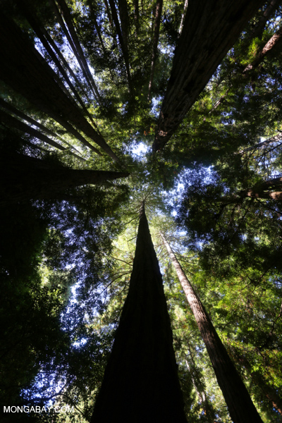 Redwood forest in Muir Woods in northern California. Photo by Rhett A. Butler.