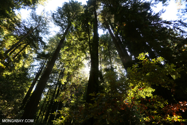 It seems intuitive that forests with high carbon storage will also have high biodiversity, but that isn't always the case. Redwood forests like this one, for example, store massive amounts of carbon but have relatively low diversity. Photo credit: Rhett Butler