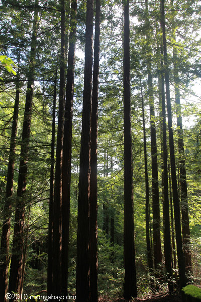 Redwoods in Huddart County Park