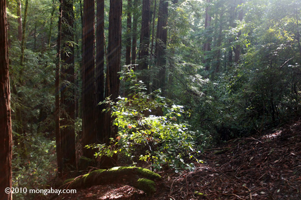 Rays of sun in a rewdood forest