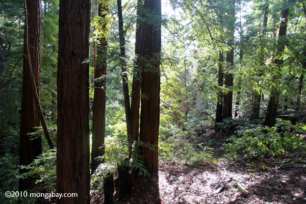 Redwood trees in Huddart County Park