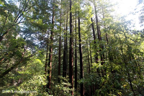 Redwood trees in Huddart County Park