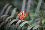 Bird of Paradise in the Amazon